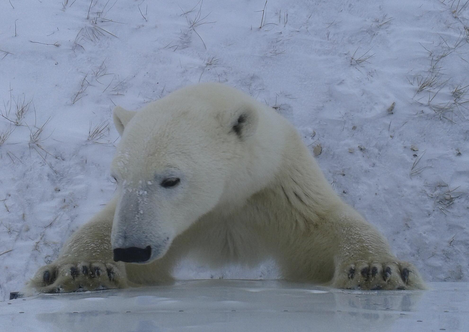 Eisbären an der Hudson Bay