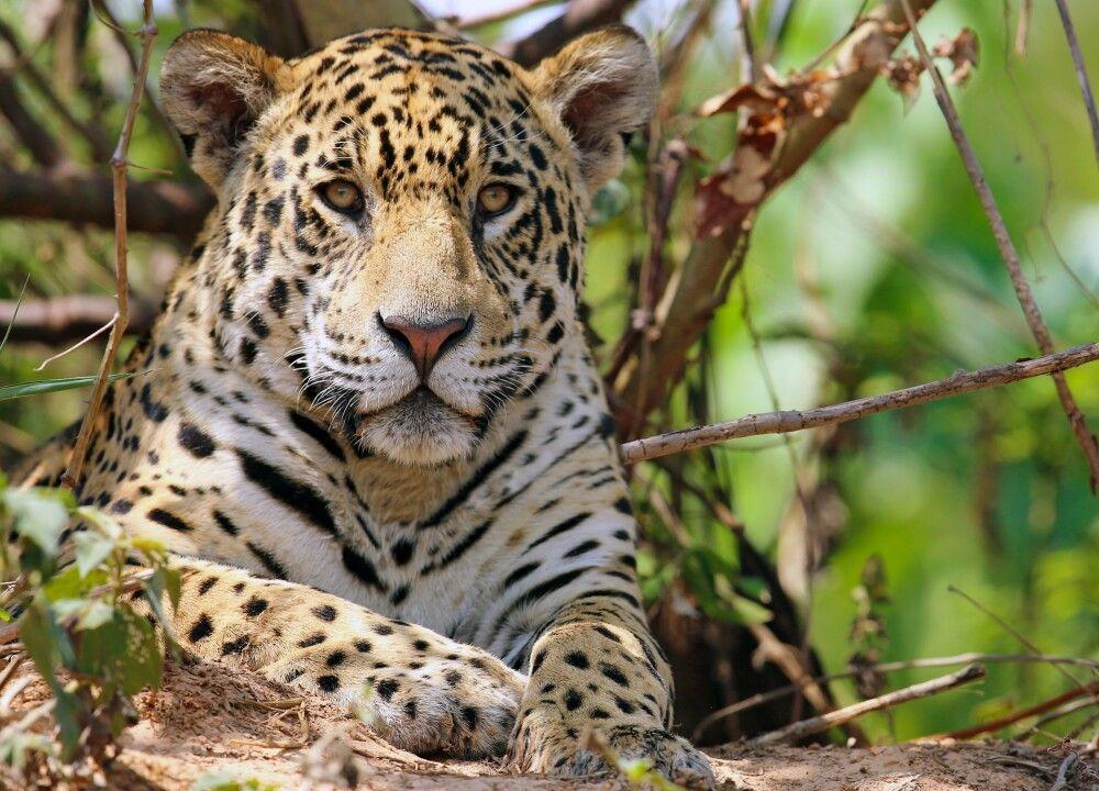 Guyana - Auf den Spuren von Jaguar, Kaiman und Ameisenbär