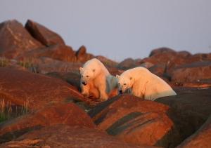 Kanada | Manitoba - Eisbären und Belugas hautnah
