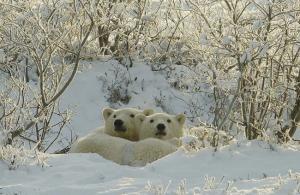 Kanada: Die Wanderung der Eisbären