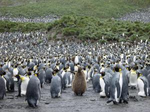 MS ORTELIUS: Falkland - Südgeorgien - Antarktische Halbinsel