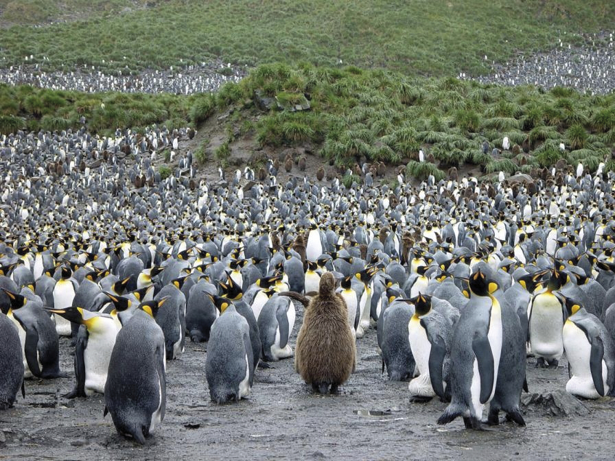 MS PLANCIUS: Falkland - Südgeorgien - Antarktische Halbinsel