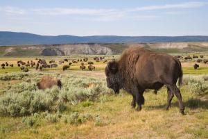 USA | Rocky Mountains - Wildlife – Land der Büffel, Bären und bunten Lagunen