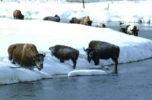 USA | Rocky Mountains - Winterzauber im Yellowstone-Nationalpark